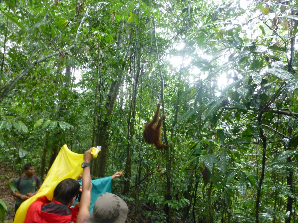 Seeing the Orang Oetan in the rainforest. Bukit Lawang - Indonesia