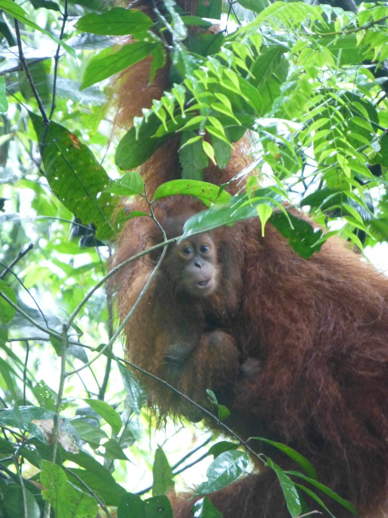 Seeing the Orangutan in the rainforest. Bukit Lawang - Indonesia