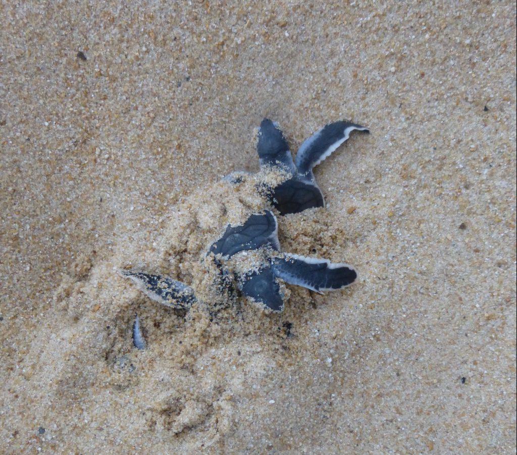 Schildpadden van Juara