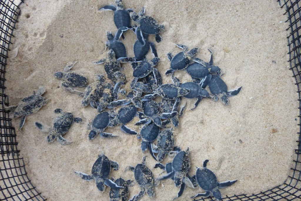 Turtles at Juara