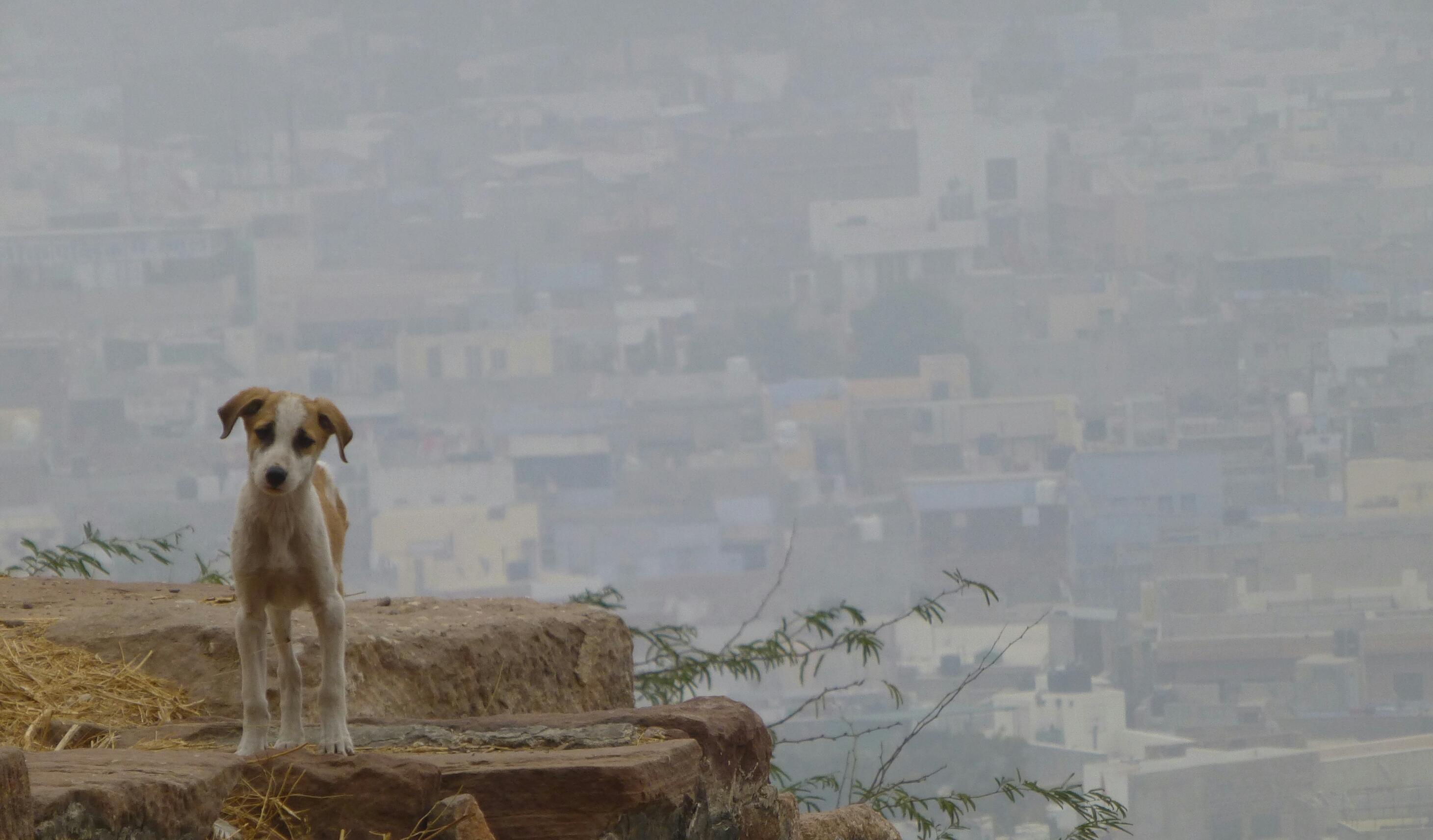 Dogsview over Jodhpur