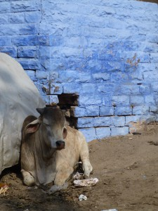 Holy Cow, Jodhpur