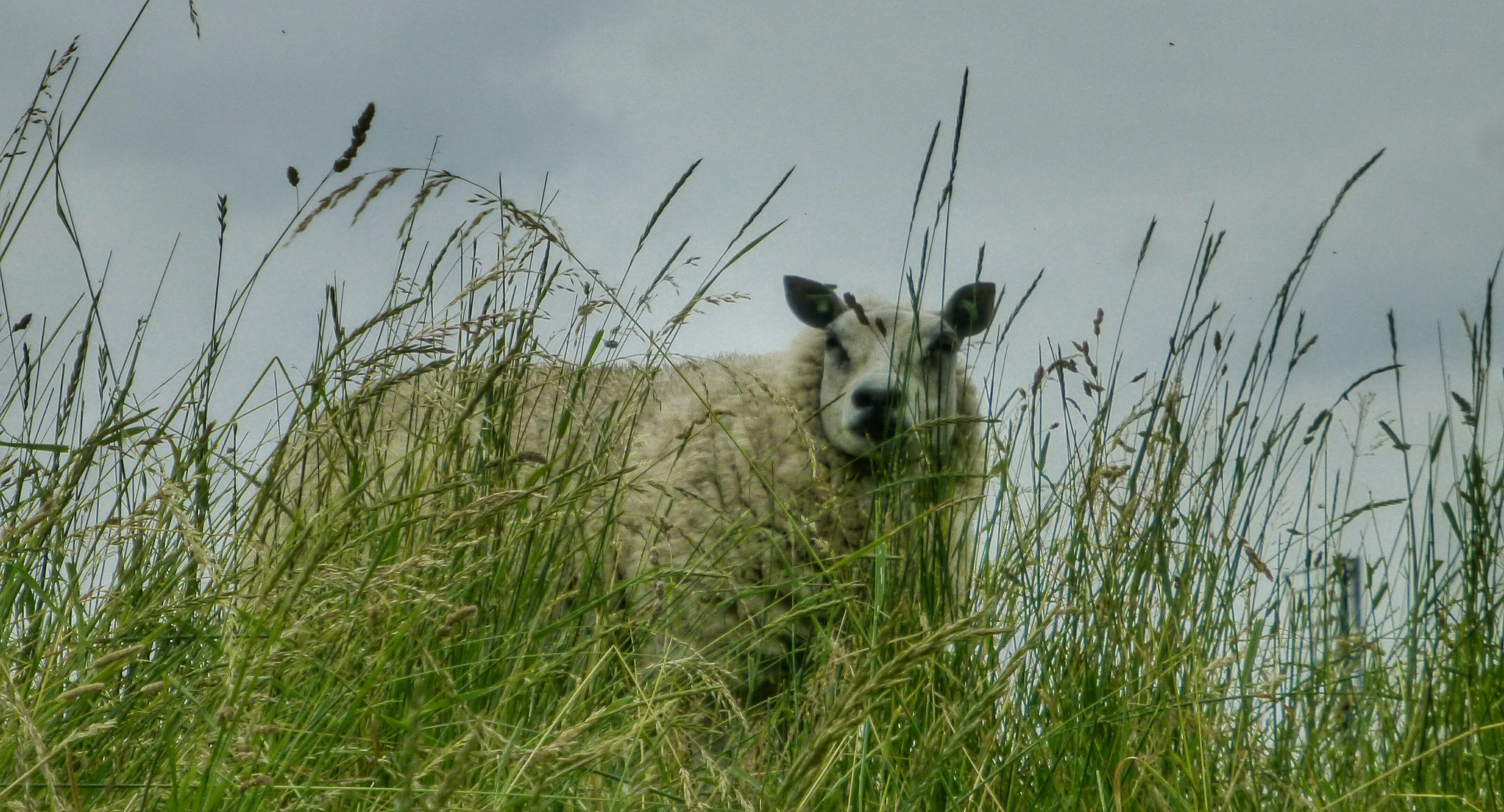 Volendam sheep