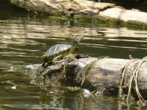 Turtle Ter