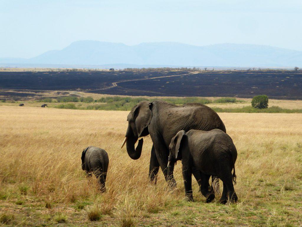 stap van die olifant