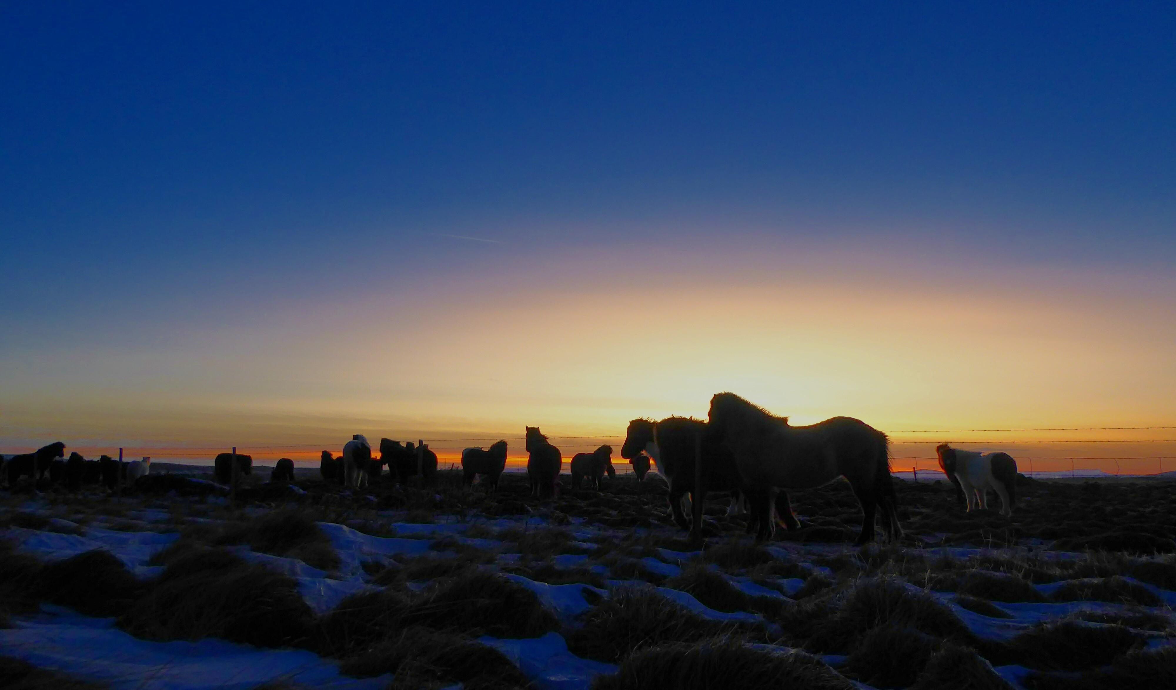 Postcard - Iceland - Icelandic Horses