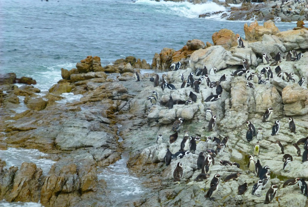 Pinquins van Betty's Bay, Zuid Afrika