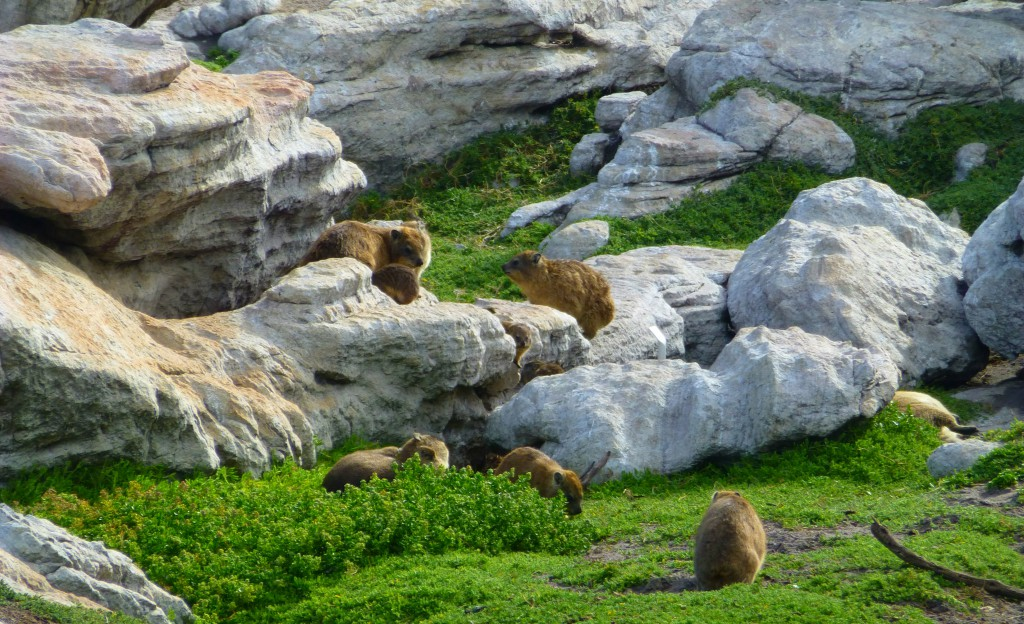 Rock Hyrax bij de Pinquins van Betty's Bay, Zuid Afrika