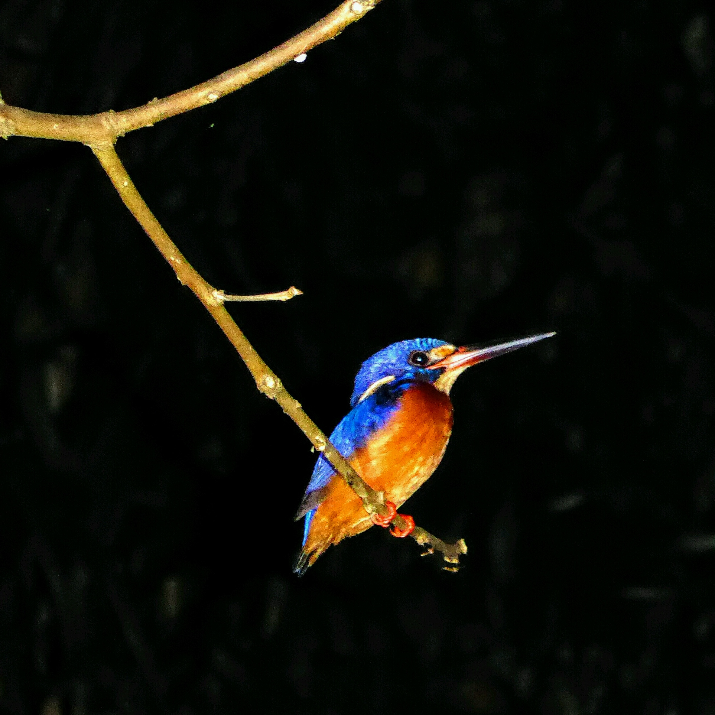 Kinabatangan - Kingfisher